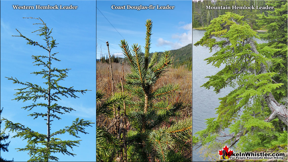 Leaders Hemlock Douglas-fir and Mountain