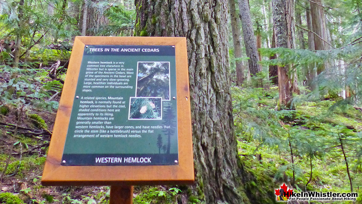 Western Hemlock Info at Ancient Cedars