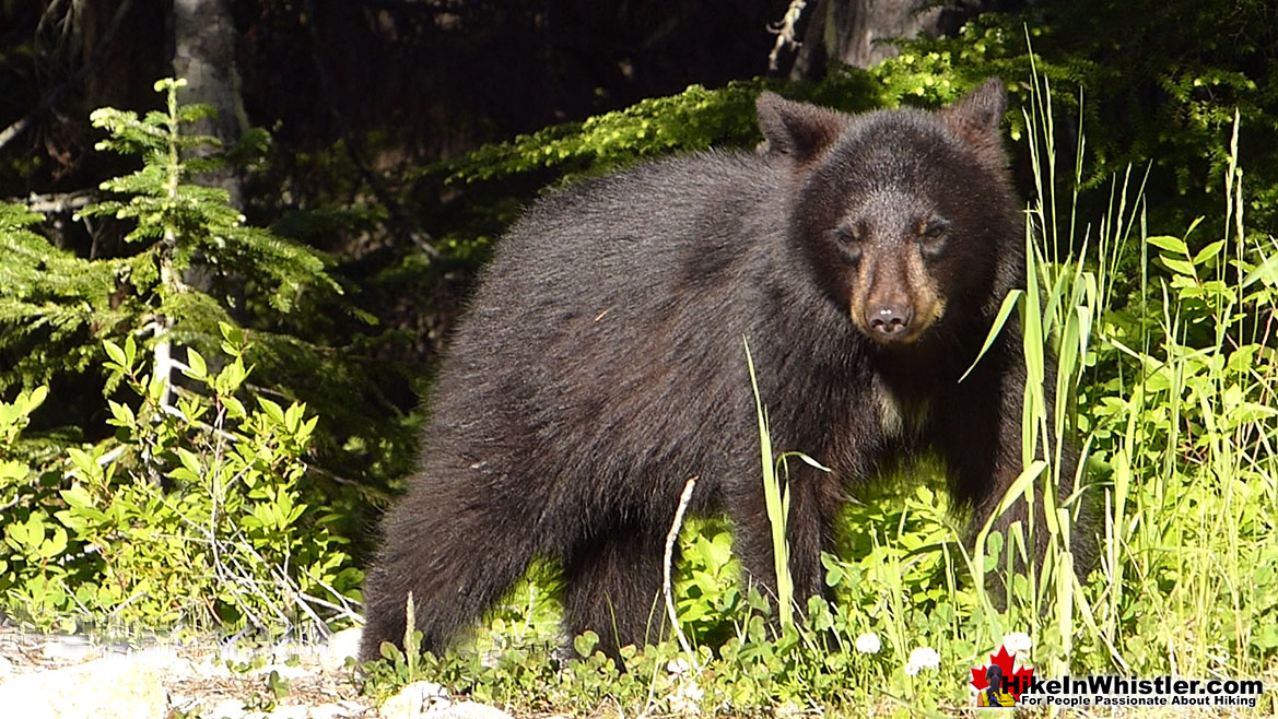 Bear Near Alexander Falls and Madeley Lake