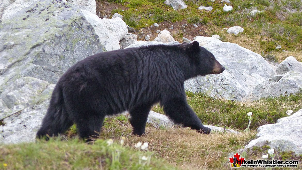 Bear on Blackcomb Mountain