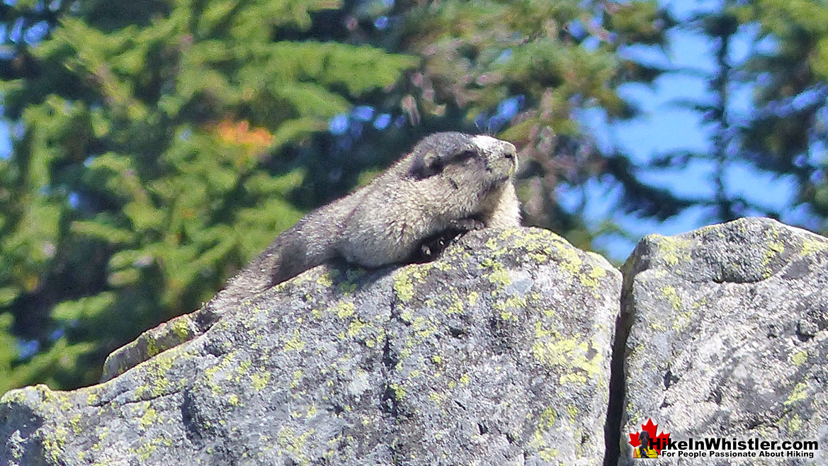 Hoary Marmot at Cirque Lake