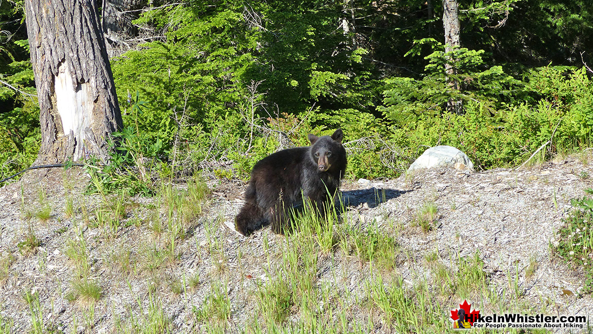 Bear Near Madeley Lake - Hike in Whistler