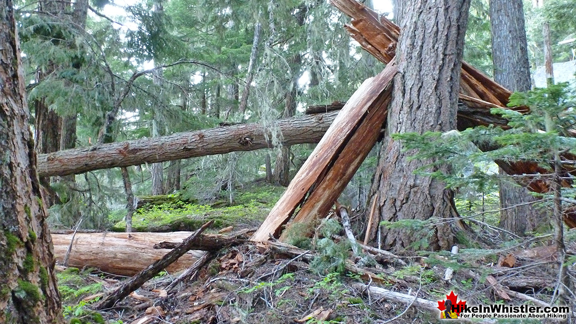 Flank Trail Tree Carnage