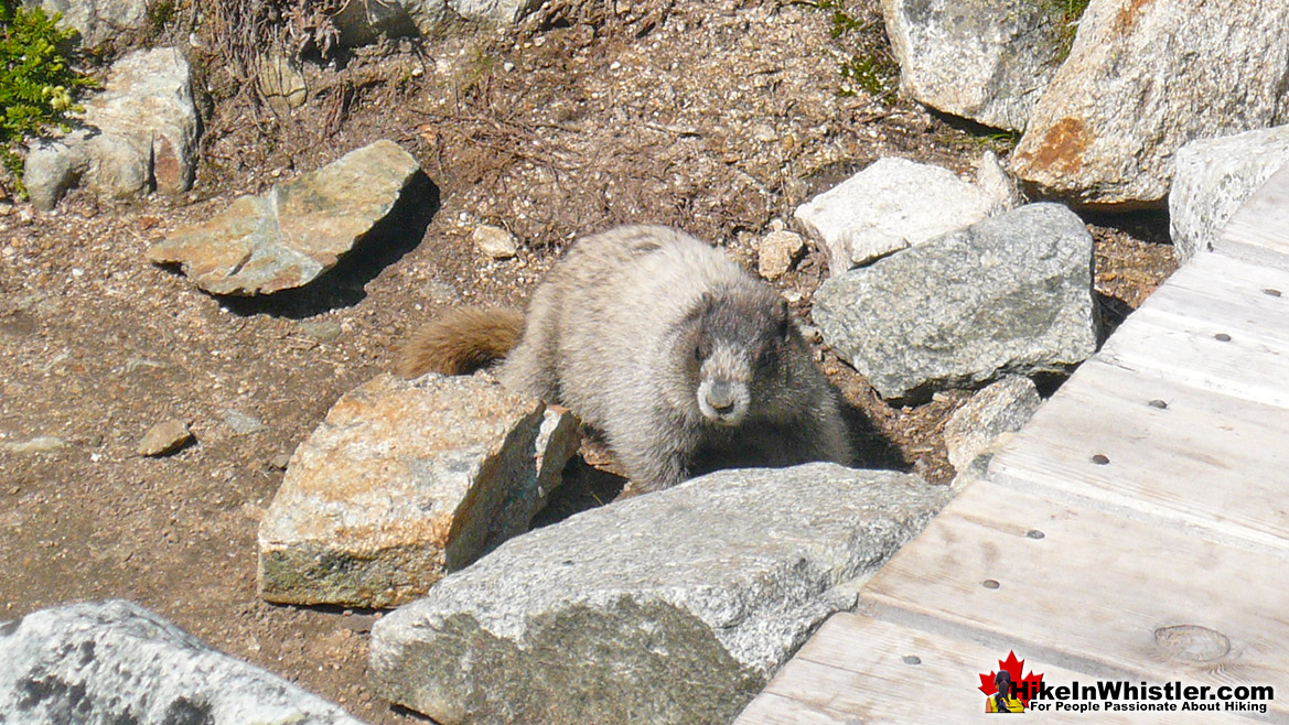 Hoary Marmot at Wedgemount Lake